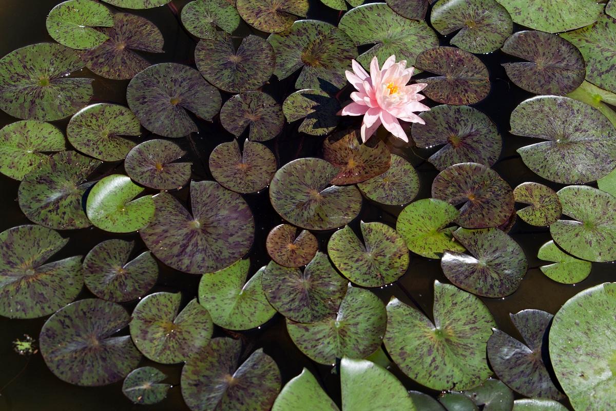 orto botanico di padova vasca delle ninfee
